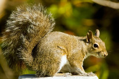 A Gray Squirrel perched. Near a fountain and waiting to get a drink Stock Image