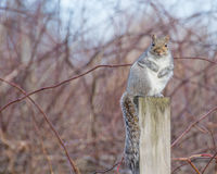 Gray Squirrel Perched Stock Photos
