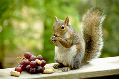 Gray squirrel with pile of snacks Royalty Free Stock Photos