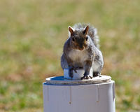 Gray Squirrel on Pipe. Adult gray squirrel sitting on a white pipe in a back yard Stock Images