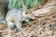 A gray squirrel playing in pine straw. royalty free stock image