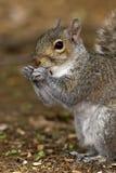 Gray Squirrel Portrait Royalty Free Stock Photo