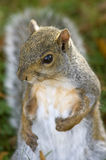 Gray Squirrel Portrait - Who Me?. A portrait od a grey squirrel pointing to himself as if to say Who, me Stock Photography