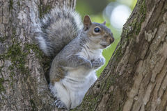 Gray Squirrel Resting in a Tree Royalty Free Stock Photography