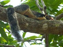 A gray squirrel rests on a tree stock photos