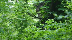 Gray squirrel rides to a tree stock footage