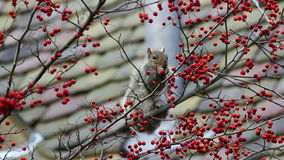 Gray squirrel on a rowan tree looking for food stock footage
