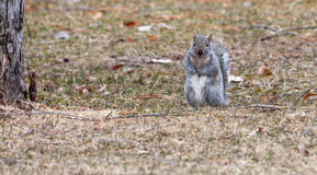 Gray Squirrel running about in soft focus Stock Image