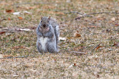 Gray Squirrel running about in soft focus Royalty Free Stock Photos