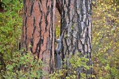 Gray Squirrel sörjer rinnande övre en Ponderosa trädet Royaltyfri Foto