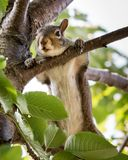 Gray Squirrel & x28;sciuridae& x29; Royalty Free Stock Photography