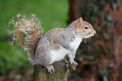 Gray Squirrel Sciurus-carolinensis Stock Afbeeldingen