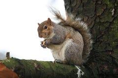 Gray Squirrel Sciurus-carolinensis Stock Foto