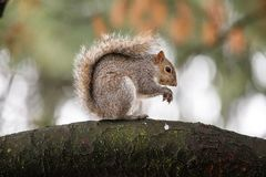 Gray Squirrel Sciurus-carolinensis Royalty-vrije Stock Foto's
