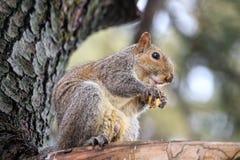 Gray Squirrel Sciurus-carolinensis Stock Afbeelding