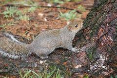 Gray Squirrel Sciurus-carolinensis Royalty-vrije Stock Fotografie