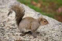 Gray Squirrel Sciurus-carolinensis Royalty-vrije Stock Foto