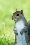 Gray Squirrel, Sciurus carolinensis Royalty Free Stock Photo
