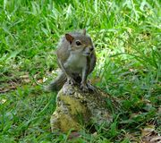 Gray Squirrel (Sciurus carolinensis) Stockbilder