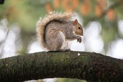 Gray squirrel Sciurus carolinensis Royalty Free Stock Image