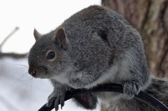 Gray Squirrel Sits on a Bird Feeder Pole. Closeup image of a Gray Squirrel Royalty Free Stock Photography
