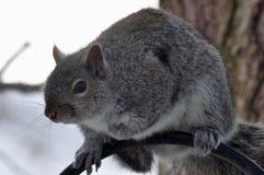 Gray Squirrel Sits en un alimentador poste del pájaro fotografía de archivo libre de regalías