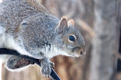 Gray Squirrel Sits en un alimentador poste del pájaro Foto de archivo
