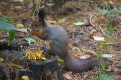 Gray squirrel sits on the grass Royalty Free Stock Photography