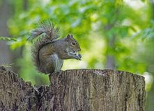 A little Gray Squirrel has a nut in his mouth trying to crack it. stock images