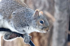 Gray Squirrel Sits op een Vogelvoeder Pool Stock Foto