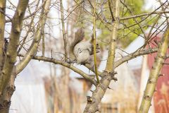 Gray squirrel sitting on the branches of a tree without leaves royalty free stock photo