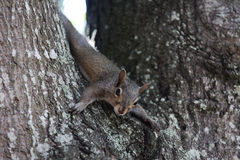 Gray squirrel. Sitting on an oak tree Stock Images