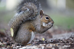 Gray squirrel. Sitting on an oak tree Stock Photography