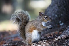 Gray squirrel. Sitting on an oak tree Stock Image