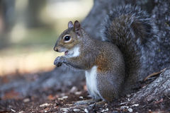 Gray squirrel. Sitting on an oak tree Stock Photos