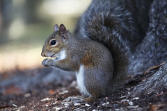 Gray squirrel. Sitting on an oak tree Royalty Free Stock Photo