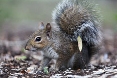 Gray squirrel. Sitting on an oak tree Royalty Free Stock Photography