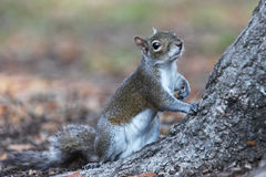 Gray squirrel. Sitting on an oak tree Stock Photo