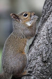 Gray squirrel. Sitting on an oak tree Royalty Free Stock Images