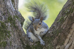 Gray Squirrel Sitting in a Tree Stock Photos