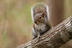 Gray Squirrel Sitting on Tree Trunk Royalty Free Stock Photography