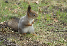 Gray Squirrel. A squirrel is a small, beautiful and clever animal with a long body and very fluffy tail Royalty Free Stock Photography