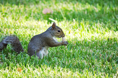 Gray Squirrel sniffing at Peanut Royalty Free Stock Photography