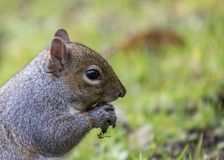 Gray Squirrel Stock Image