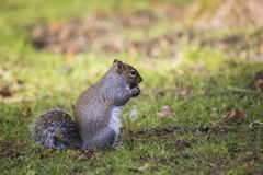 Gray Squirrel Stock Photography