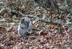 Gray Squirrel Standing op Login het Hout Royalty-vrije Stock Foto's