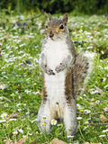 Gray Squirrel standing and watching Royalty Free Stock Photography