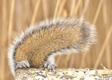Gray Squirrel Tail Royalty Free Stock Photography