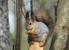 Gray squirrel on tree branch. Portrait of gray or grey squirrel on tree branch Royalty Free Stock Image