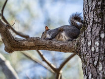 Gray Squirrel in Tree Royalty Free Stock Images